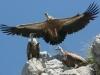 Eagle nest - Griffon vulture
