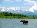The Moose and the Mountain, Denali National Park, Alaska